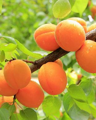 apricot-tree.jpg