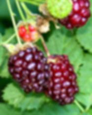 boysenberry-original_1.jpg