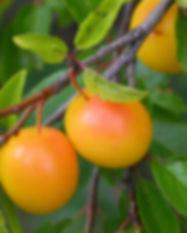 lum-branch-backgrounds-fruit-ripe-wallpa