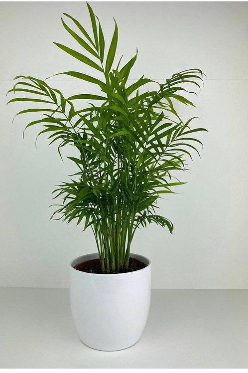 Chamaedora Elegans Palm