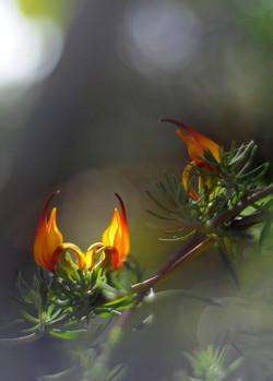 Lotus pyranthus, islas Canarias