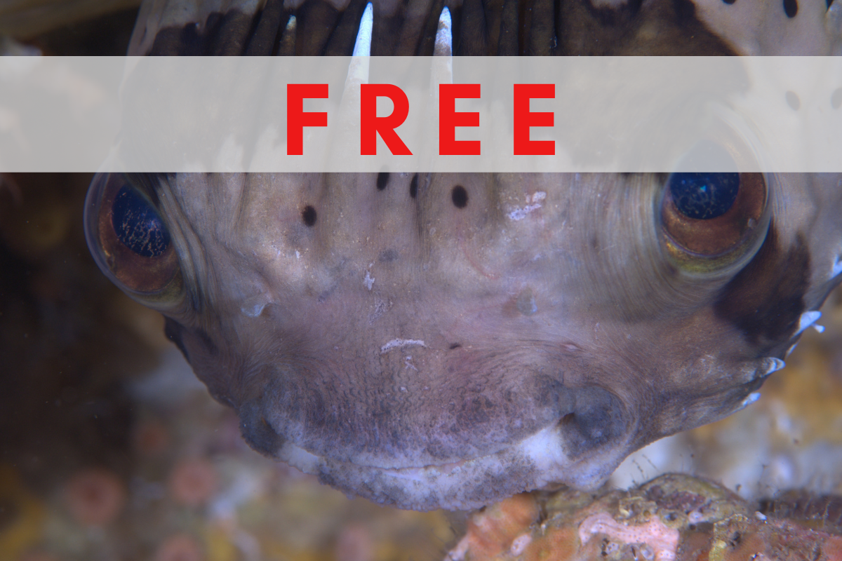 Puffers and Boxfish of the World