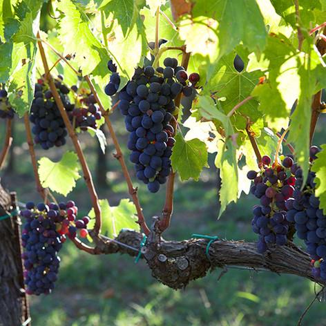 Corvento Grapes