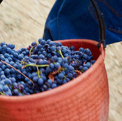 Harvest of the Grapes