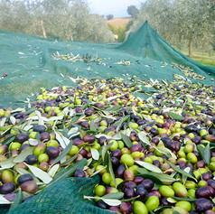 Olive Harvest Sorting