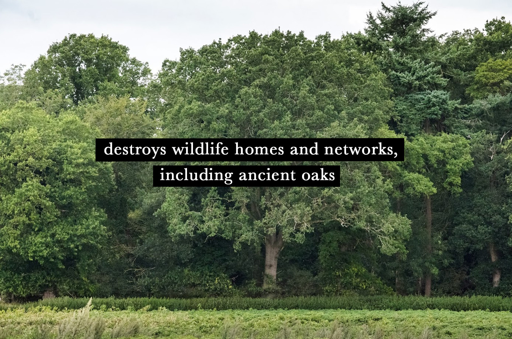 detroys ancient oaks.jpg