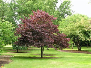 Plum Tree Foliage