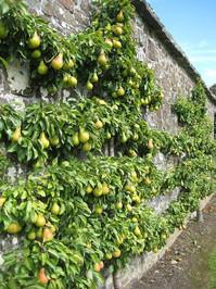 Espalier Pears