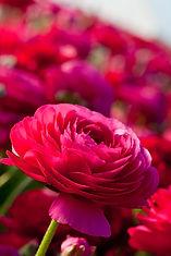ranunculus-pink.jpg