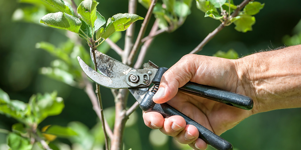 How to prune Fruit Trees!