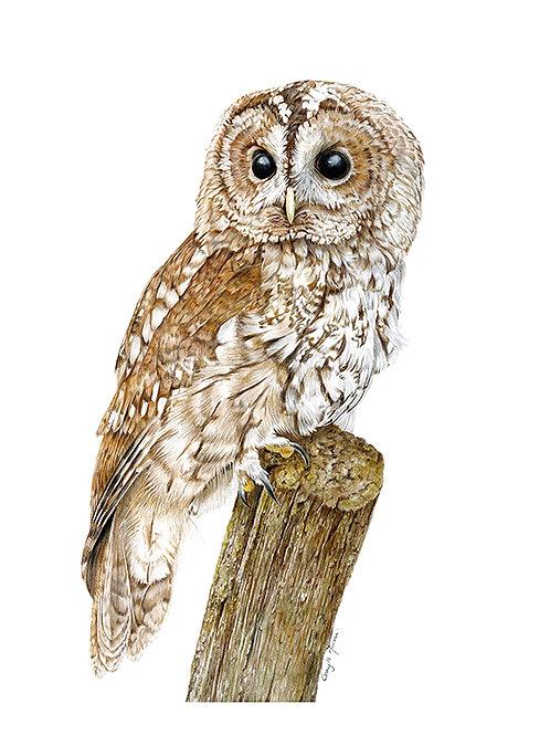 Tawny Owl - Original Art
