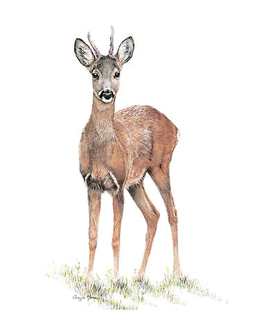 Young Buck.jpg