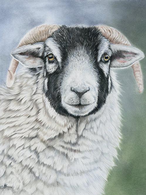 Swaledale Sheep - Original Drawing