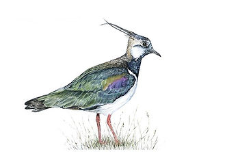 Finished my Lapwing, mixed media (waterc