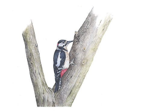 "Greater Spotted Woodpecker - ""Treehugger"""
