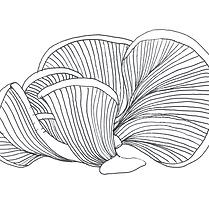 Pleurote gris   Champignonnière de la frise