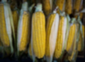 close-up-of-corn-cobs-760267559-5b70e0e5