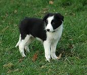 Border Collie chien de troupeau