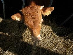 Veau Marly viande bovin ferme du producteur au consommateur