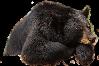 Bear sleeping.png