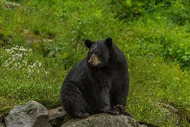 Bear sitting by River.jpg