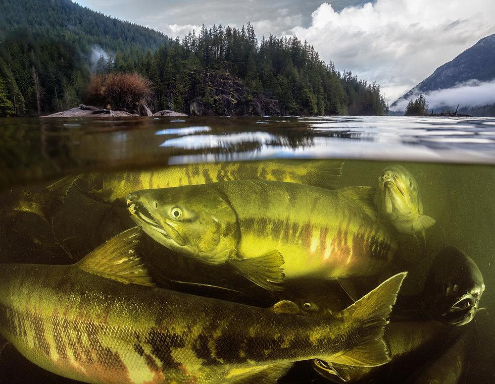 Chum Salmon Vancouver.jpg