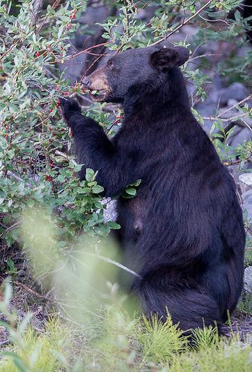 deranged Bear eating berries.jpg