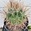 Thumbnail: Ferocactus Santamaria