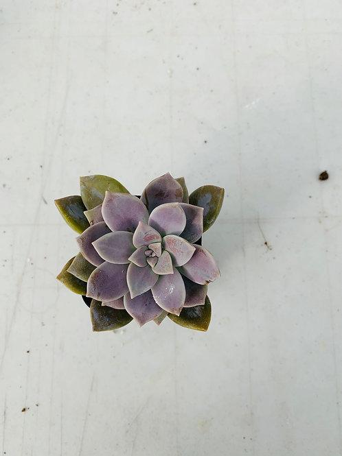 Mini Succulent (3)