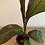 Thumbnail: Abyssinian Banana