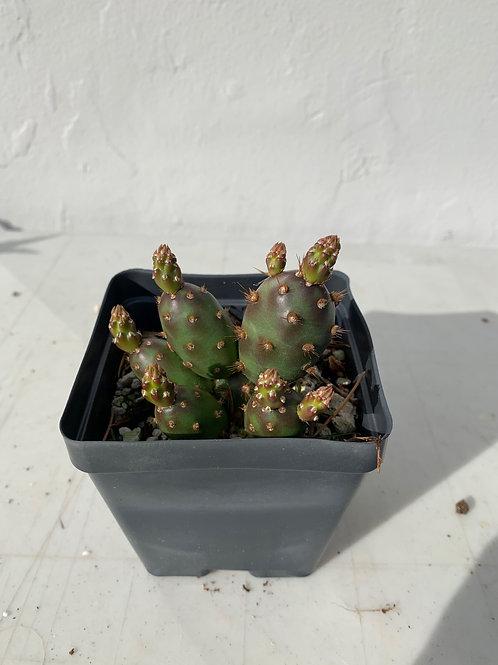 'Bronze Beauty' Cactus