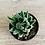 Thumbnail: Haworthia Super Fasciata