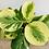 Thumbnail: Peperomia Obtusifolia