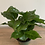 Thumbnail: Coffee Plant
