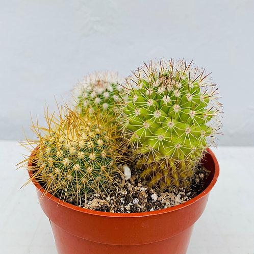 Triple Cactus (sm)