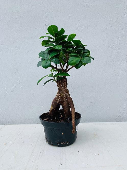 Ginseng Ficus