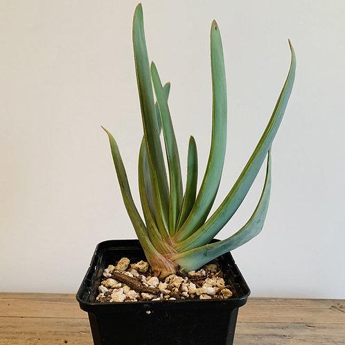 Fan Aloe