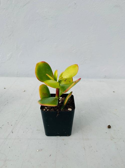 Mini Succulent (4)