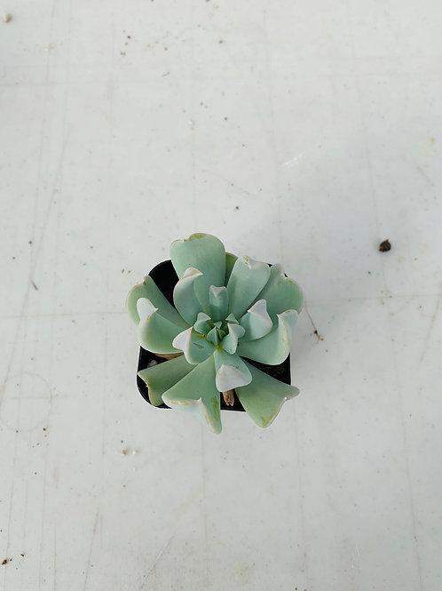 Mini Succulent (2)