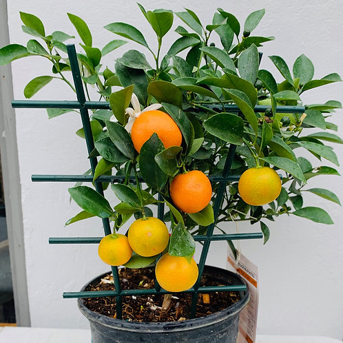 Calamondin Citrus Tree