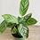 Thumbnail: Prayer Plant -Grey Star