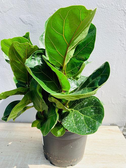 Fiddle Leaf Fig XL
