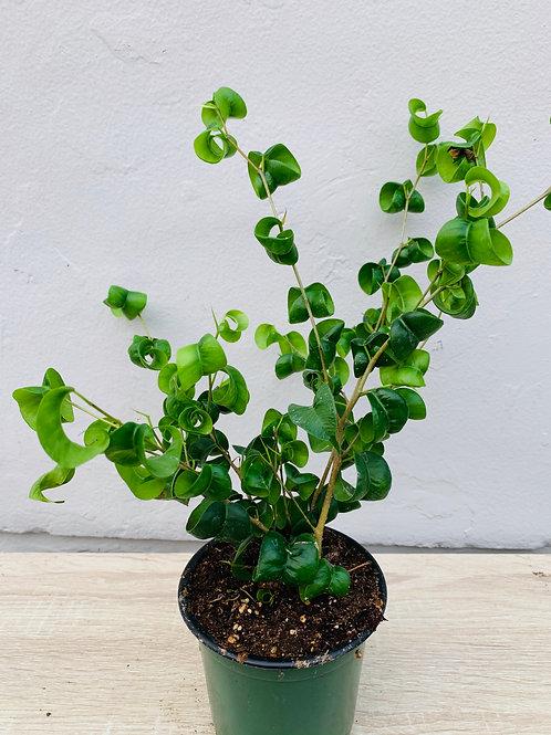 Curly Ficus