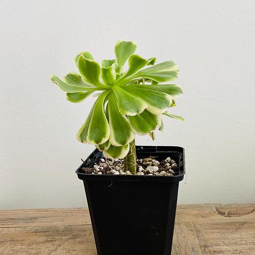 Sunburst (Aeonium)