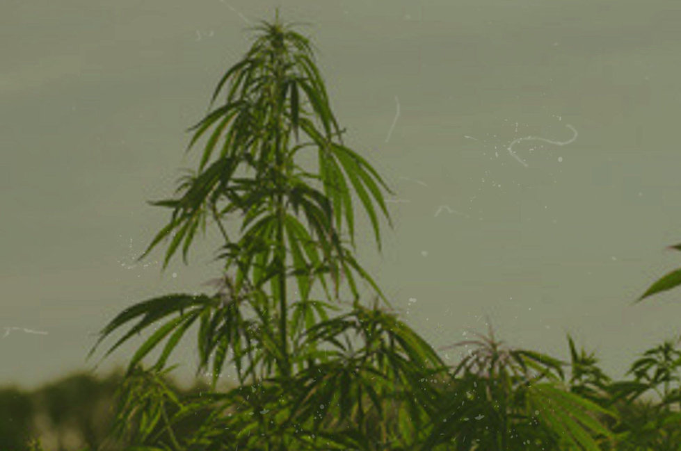 Australian Hemp Innovations company, believes in hemp for its capabilities to produce food, rope, clothing, paper, housing material. The future is looking green, with Australian Hemp Innovations.