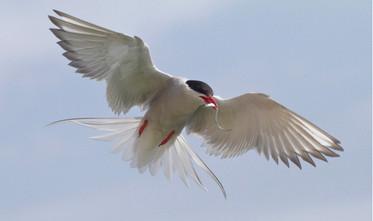 'Tern with Sandeel' by Brian McKenna