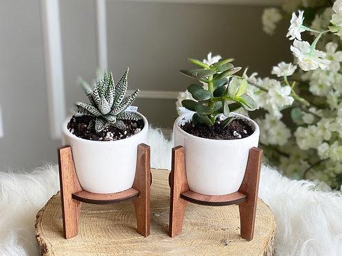 Succulents Duo