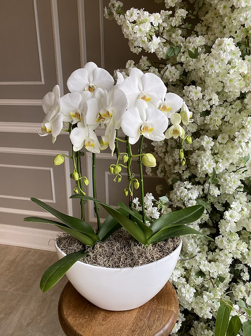 Double Orchids Plant in White Boat (4 Stems)