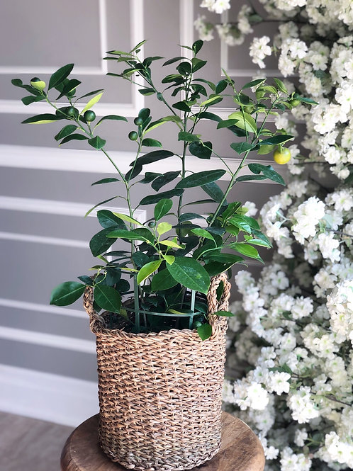 Calamondin Orange Plant