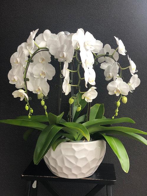 Double Orchids Plant (4 Stems)